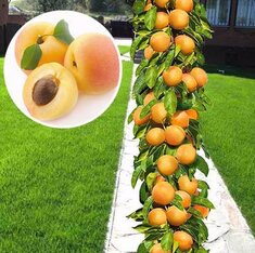 Колоновидный абрикос Принц Март