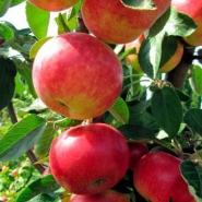 Яблоня колоновидная Джин