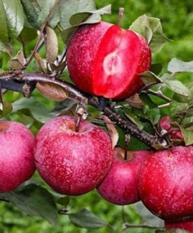 Яблоня колоновидная красномясая краснолистная Redmin