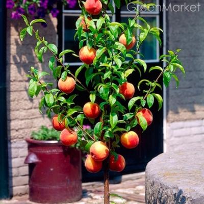 Персик колоновидный Pigmy Bonanza