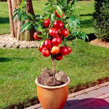 Нектарин колоновидный Рубис