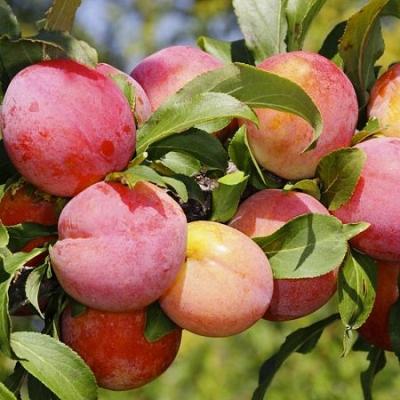 Колоновидный гибрид алыча-персик Персиковая