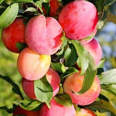 Колоновидный гибрид слива-персик Сливовый нектарин