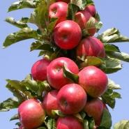 Яблоня осенняя колоновидная Джина