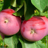 Яблоня колоновидная Титания