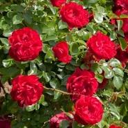 Роза английская Колосаль