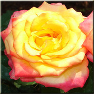 Роза чайно-гибридная Конфетти