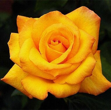 Роза Конго Ч-Г