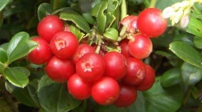 """Брусника """"Коралл""""\Vaccinium vitis-idaea """"Koralle"""""""