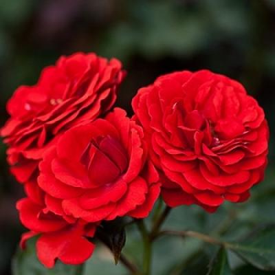 Роза миниатюрная  Кордула