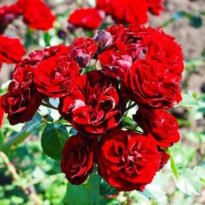 Роза штамбовая Кордула