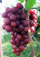 Виноград Королева Нина