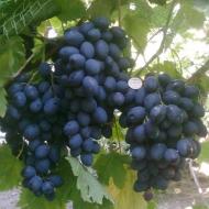 Виноград Королевский осенний