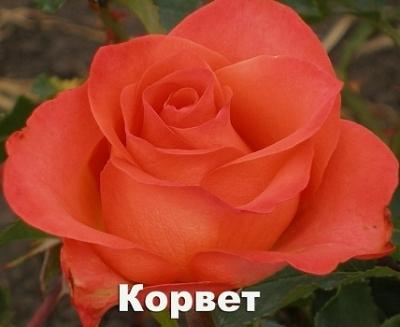 "Роза чайно-гибридная ""Корвет"""