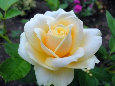 Роза Кремовая Ч-Г