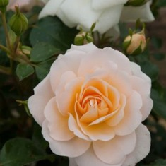 Роза миниатюрная Кристал Палас