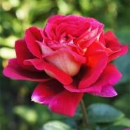 Роза чайно-гибридная Кроненбург \ Kronenbourg