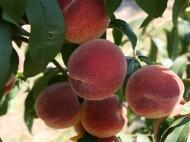 Персик колоновидный Крымский