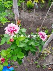 Роза штамбовая Кучерявый Пинчер