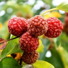 Клубничное дерево кудрания Burgundia