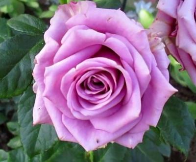 "Роза чайно-гибридная ""Кул Вотер""\""Cool Water"""