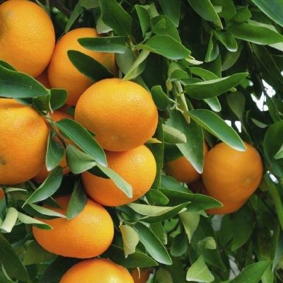 Дерево-сад кумкват Реале + лимон Киевский крупноплодный
