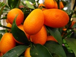 Кумкват Золотой апельсин
