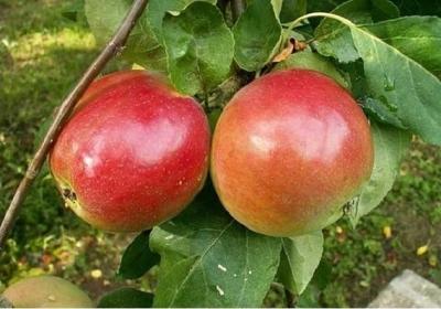 Яблоня Квинти (Канада)