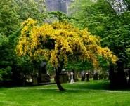 Лабурнум (Бобовник анагиролистный, «Золотой дождь»)