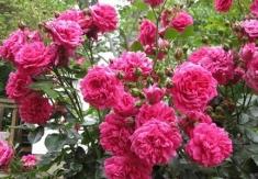 Роза плетистая Лагуна\Laguna