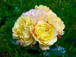 "Роза флорибунда ""Лампион""\""Lampion"""
