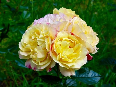 Роза флорибунда Лампион\Lampion