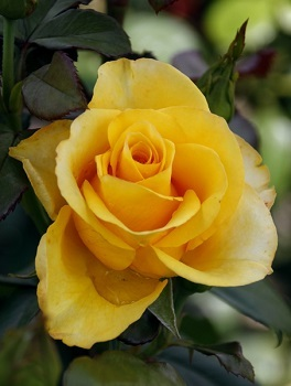 """Роза чайно-гибридная """"Ландора""""\""""Landora"""""""