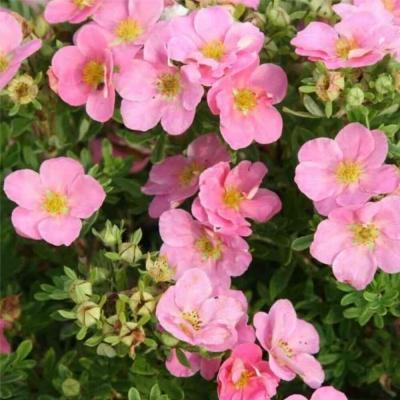 Лапчатка Лавли Пинк Lovely Pink
