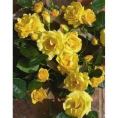 Роза плетистая Лаура Форд
