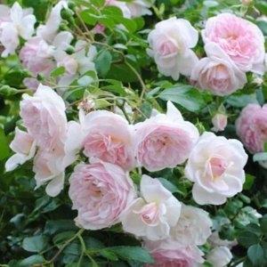 Роза почвопокровная Лавли Мейланд