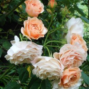 Роза английская шраб Леандр\Leander