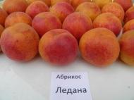 Абрикос Ледана