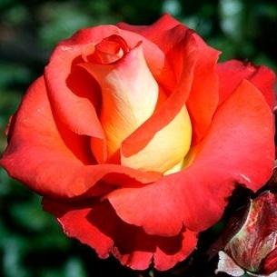 Роза чайно-гибридная Леонидас