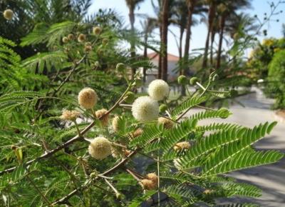 Леуцена (Мимоза белоголовчатая)
