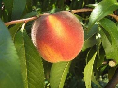 Персик Алибланка