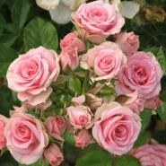 Роза бордюрная, спрей Лидия