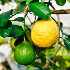 Лимон Киевский крупноплодный