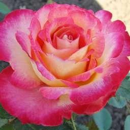 """Роза чайно-гибридная """"Липстик""""\""""Lipstick"""""""