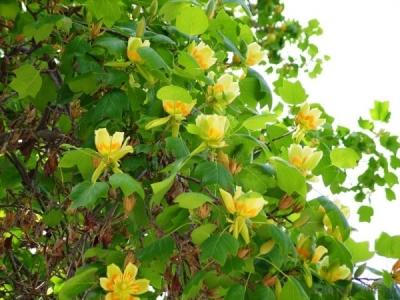 Лириодендрон (Тюльпановое дерево)