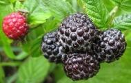 Чёрная малина Литач
