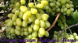 Виноград Лора (Флора)