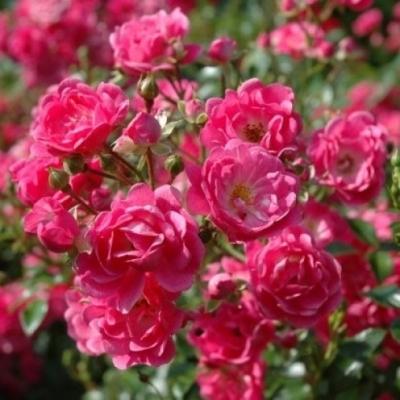 Роза почвопокровная Лавли Фейри