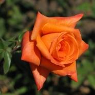"Роза чайно-гибридная ""Ловерс Митинг""\""Lovers Meeting"""