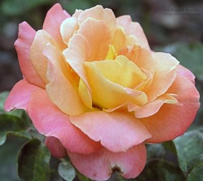 "Роза чайно-гибридная ""Люстиге"""